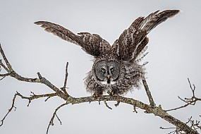 Great Grey Owl on Lichen Covered Branch