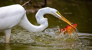 Egret with Goldfish