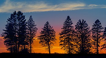 Pines at Sunset