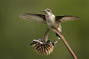 Hummingbird Take Off