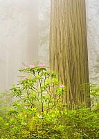 Fog, Rhodies and Redwoods