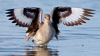 Willet - Spreading Wings
