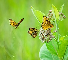 Butterfly Tinkle