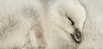 Kelp Goose Gosling Portrait
