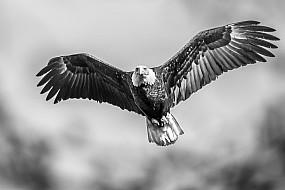 Bald Eagle B&W