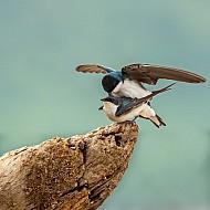 Swallow Love