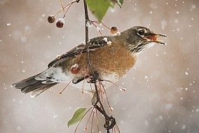 Robin in a snowstorm
