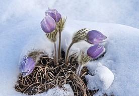 Pasque flowers in April snow