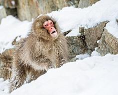Territorial Japanese Snow Monkey