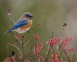 Bluebird & Three Leaves