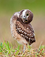 Inquisitive young owl
