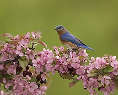 Eastern Bluebird and blossoms