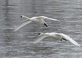 Mississippi River Swans