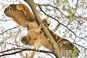 Determined Great Horned Owlet