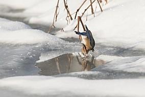 Eastern Bluebird Getting a Drink