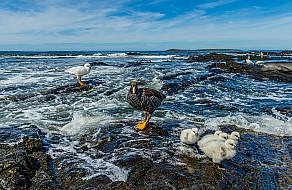 Kelp Goose Family