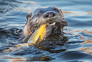 River Otter with Bullhead