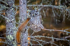 Boreal Owl with Red Squirrel