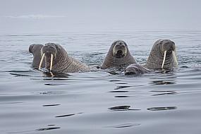 Walrus Pod in Fog