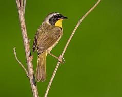 A Straddling Yellowthroat