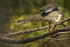 Green Heron StretchI
