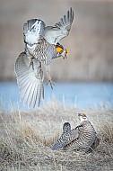 Prairie Chicken Attack