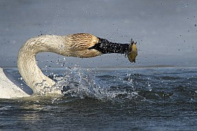 Trumpeter Swan Fishing