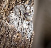 Screech Owl with Pellet