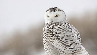 Watchful Snowy Owl