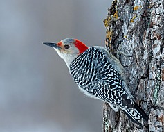 Red-bellied Woody