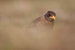 Falkland Thrush in the Grass