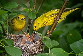 Yellow Warblers Feeding Nestlings