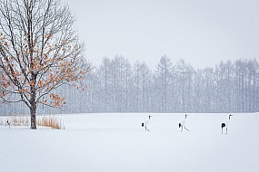 Red Crowned Cranes in Snow
