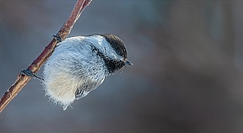 Black Capped Chickadee perched
