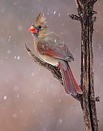 Female Cardinal in Snow