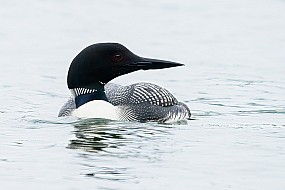 Loon on Northern Waters
