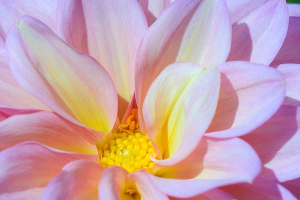Botany 1st Place: Dahlia