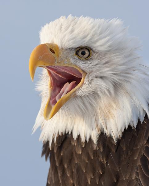 Zoology 1st Place: Screaming Bald Eagle
