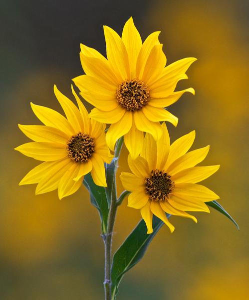 Botany 2nd Place: Wild Maximilian Sunflower