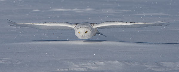Snowy Owl on the Prowl