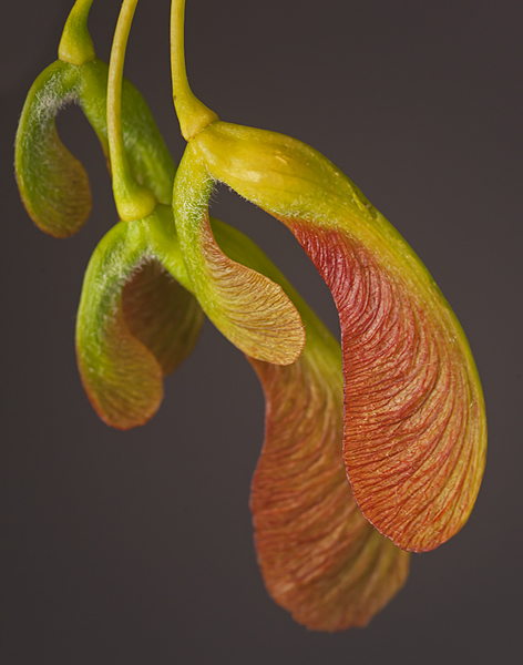 Botany Category - Second Place: Maple Seeds Close Up