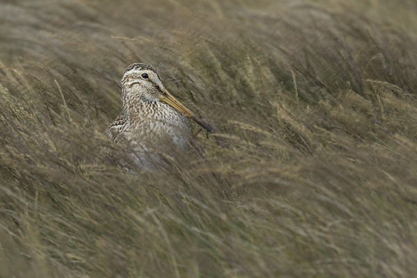 Snipe in Blowing Grass