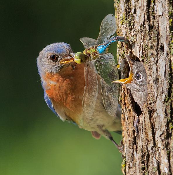 Eastern Bluebird Feeding Nestling