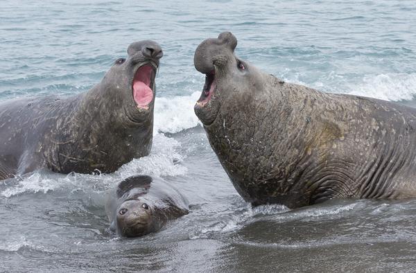 Elephant Seals Fighting Over Female