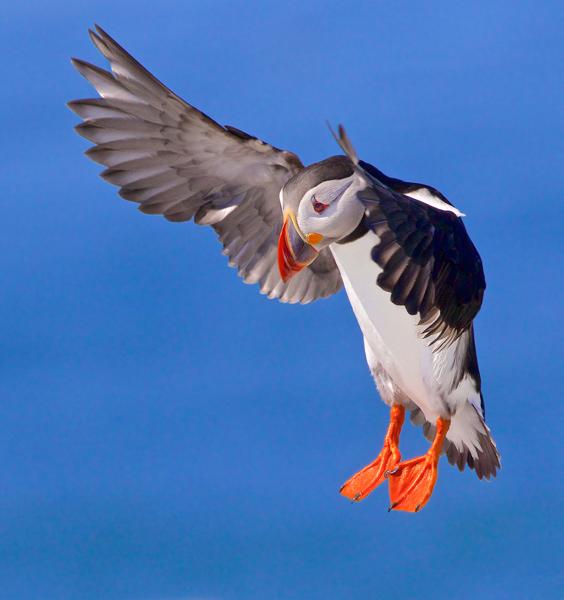 Atlantic Puffin Landing
