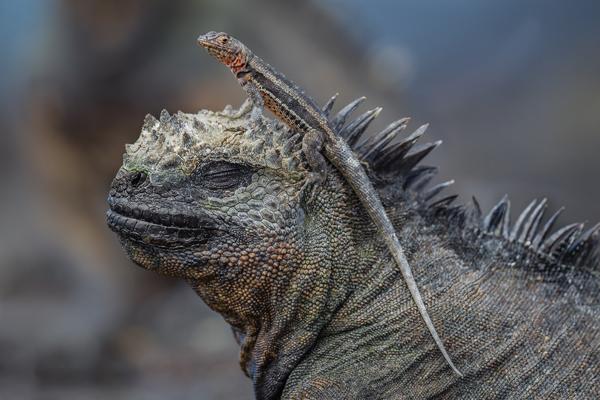 Lava Lizard on Iguana