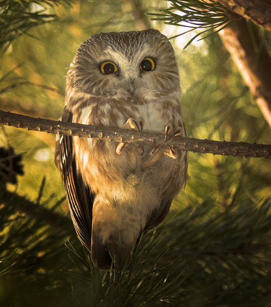 Wildlife Image of the Year: Saw Whet Owl