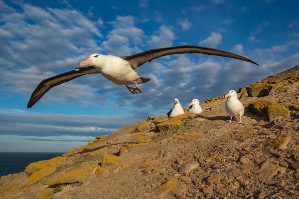Albatross Taking Off