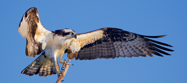 Zoology Category - Second Place: Early Morning Osprey
