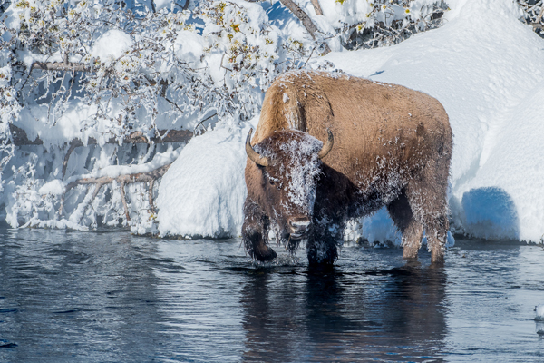 Bison in the River
